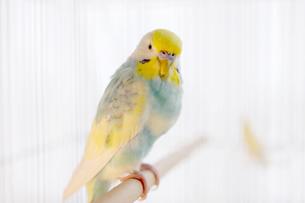 セキセイインコ 鳥かごの写真素材 [FYI03443473]