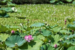日本の風景、蓮の花の写真素材 [FYI03443532]