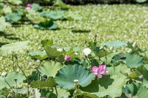 日本の風景、蓮の花の写真素材 [FYI03443533]