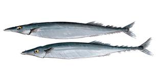 秋刀魚 サンマ 水彩のイラスト素材 [FYI03443794]