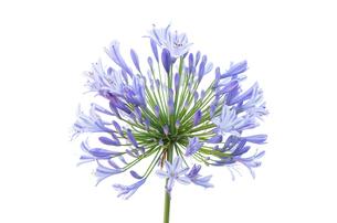 白背景のアガパンサスの花の写真素材 [FYI03443986]