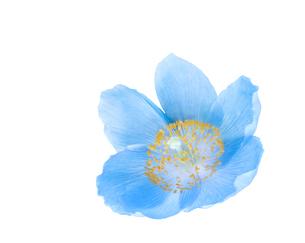 ヒマラヤの青い芥子の花の写真素材 [FYI03443987]