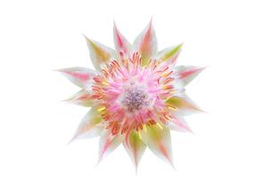 白背景のセルリアの花の写真素材 [FYI03443988]