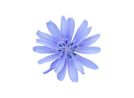 白背景のイタリアンタンポポ(チコリ)の花の写真素材 [FYI03443989]