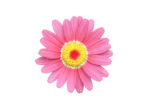 白背景のマーガレットの花の写真素材 [FYI03443990]