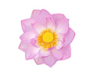 白背景の蓮の花の写真素材 [FYI03443991]
