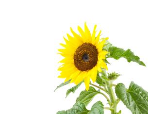 白背景のヒマワリの花の写真素材 [FYI03443992]