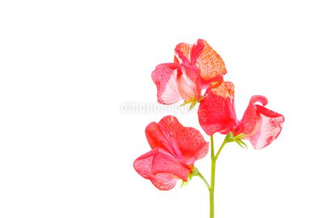 白背景の赤いスイートビーの花の写真素材 [FYI03443993]