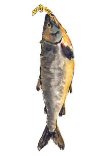 新巻鮭 荒巻鮭  水彩のイラスト素材 [FYI03443995]