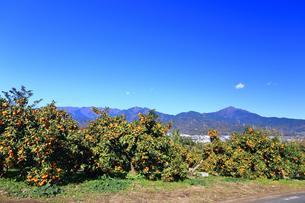 神奈川県秦野市 みかん畑の写真素材 [FYI03444113]
