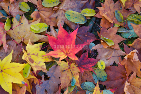 秋の落ち葉の写真素材 [FYI03444392]