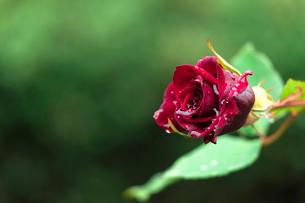 冬に咲く薔薇の写真素材 [FYI03444412]