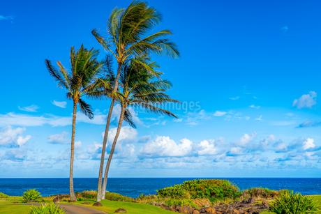 ハワイ 青空の下のヤシの木と海の写真素材 [FYI03444423]