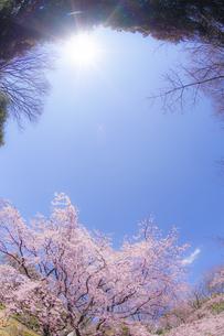 枝垂れ桜と晴天の青空の写真素材 [FYI03444655]