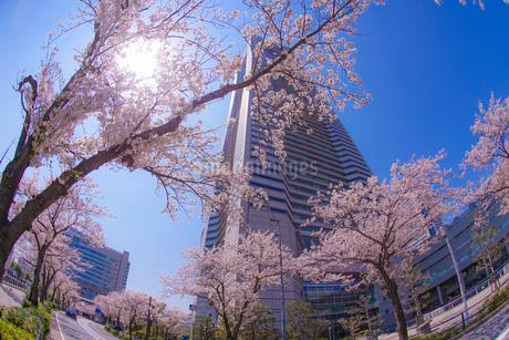 満開の桜と横浜みなとみらいの街並みの写真素材 [FYI03444707]