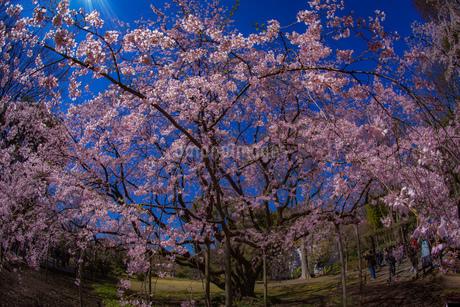 枝垂れ桜と晴天の青空の写真素材 [FYI03444730]