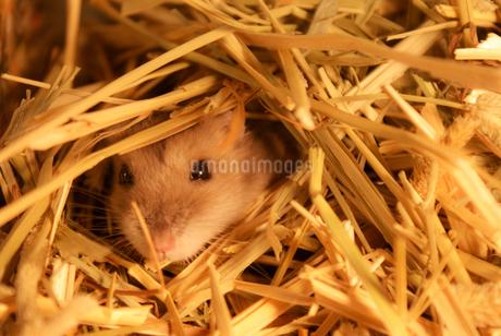 かわいいジャンガリアンハムスターのイメージ(プルーサファイア)の写真素材 [FYI03444770]