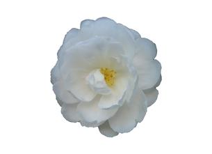 白い山茶花の切り抜き素材の写真素材 [FYI03444996]