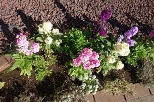 冬に咲いたカラフルなストックの花の写真素材 [FYI03444998]
