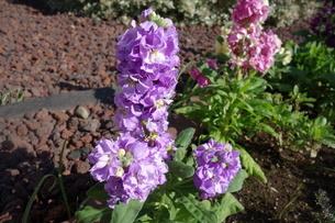 冬に咲いたカラフルなストックの花の写真素材 [FYI03444999]