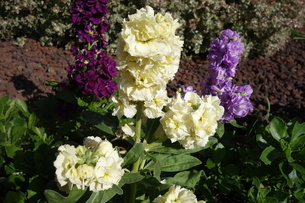 冬に咲いたカラフルなストックの花の写真素材 [FYI03445003]