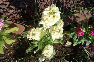 冬に咲いた白いストックの花の写真素材 [FYI03445006]