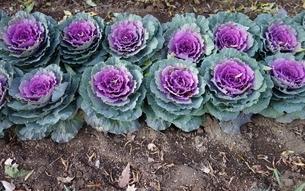 カラフルな紫の葉牡丹の写真素材 [FYI03445020]