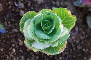 屋外の緑の花キャベツの写真素材 [FYI03445024]