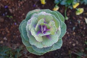 屋外の紫の花キャベツの写真素材 [FYI03445030]