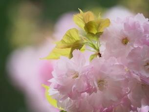 八重桜の一枝(ソフトフォーカス)の写真素材 [FYI03445465]