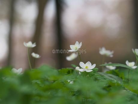 森に咲くニリンソウの花の写真素材 [FYI03445466]