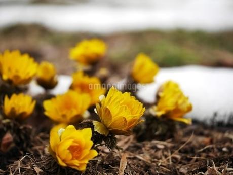 福寿草の花の写真素材 [FYI03445472]