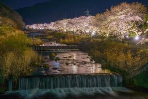 宮城野早川堤の桜の写真素材 [FYI03445523]