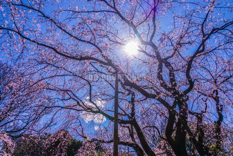 六義園のしだれ桜と晴天の空の写真素材 [FYI03445545]