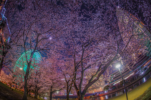 みなとみらいの夜桜と観覧車の写真素材 [FYI03445550]