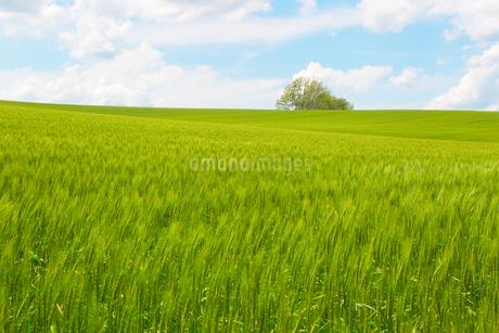 夏の麦畑の写真素材 [FYI03445718]