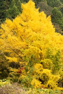 黄葉の写真素材 [FYI03445773]