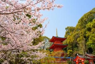 満開の桜と須磨寺の写真素材 [FYI03445867]