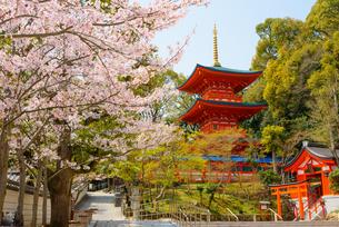 満開の桜と須磨寺の写真素材 [FYI03445872]