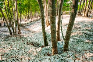 鍋倉山残雪のブナ自然林若葉と根開きの写真素材 [FYI03445879]