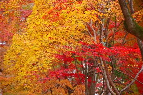 京都の秋風景-2019の写真素材 [FYI03445890]
