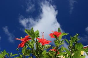 夏空にハイビスカスの写真素材 [FYI03445899]