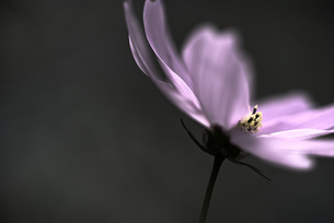 コスモス 花写真素材の写真素材 [FYI03445943]