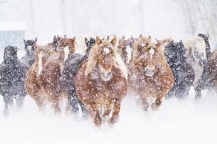 冬の馬の写真素材 [FYI03446231]