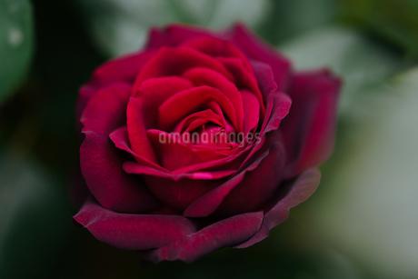薔薇の写真素材 [FYI03446234]