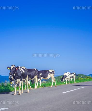 北海道 自然 風景 城岱牧場 放牧の写真素材 [FYI03446508]