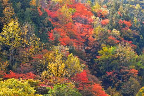 照葉峡を彩る紅葉の写真素材 [FYI03446585]