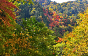 照葉峡を彩る紅葉の写真素材 [FYI03446614]