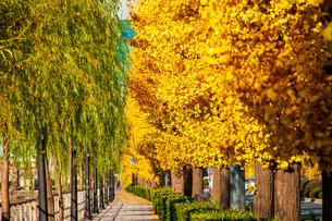 東京丸の内皇居お堀の黄葉のイチョウ並木の写真素材 [FYI03446746]