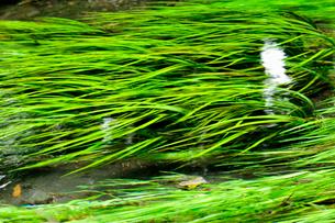 透明な流れの水草の写真素材 [FYI03447103]